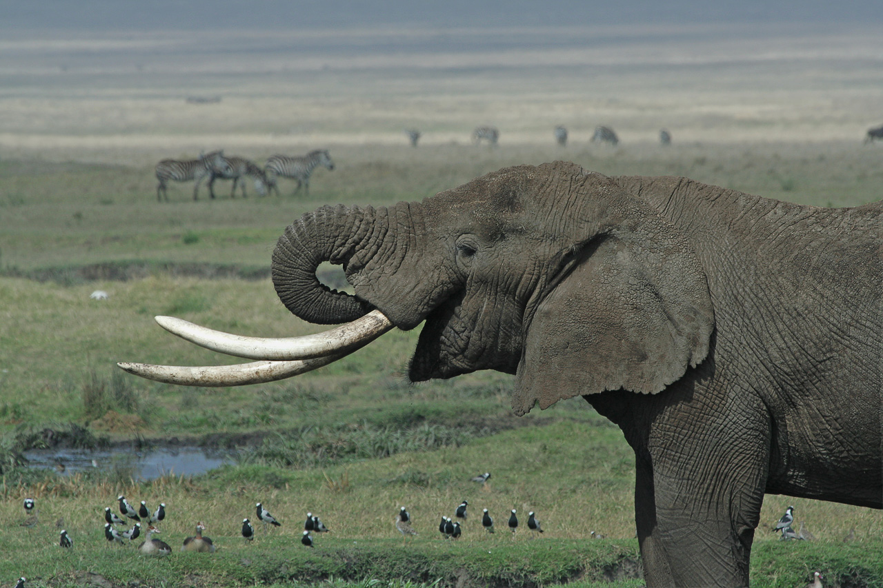 Ivory trade: Back on the market?