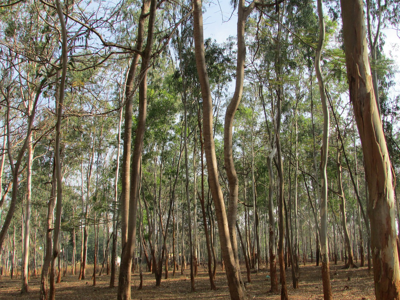 """Gasoline Trees"": A matter of forest management, or is it time to cut them all?"