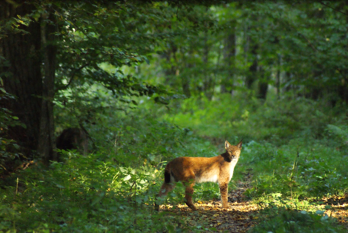Białowieża Forest: An unexpected venue for the Commission's case against Poland